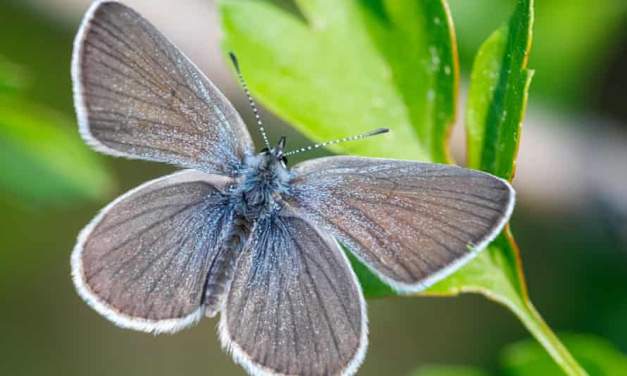 The rare small blue butterfly is found at Trumpington Meadows.