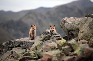 Red foxes at the Kackar mountains national parkRize, Turkey