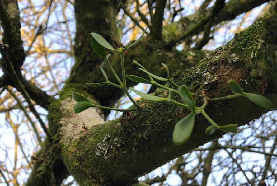 Young mistletoe growing on an apple tree