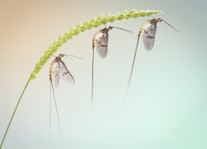 Flies, bees, wasps and dragonflies category winner: Three Mayfly on Crested Dogstail by Peter Orr