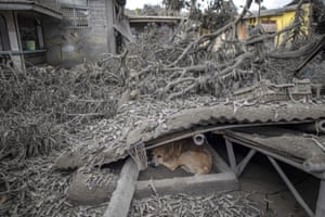 Laurel, PhilippinesA stray dog hunkers down under a roof that collapsed due to heavy volcanic ash from the Taal eruption.