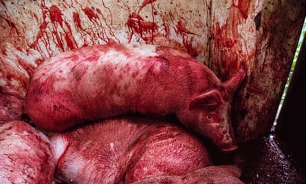 Cruel conditions ... a condemned pig among the bodies of others, all slaughtered while fully conscious in Mexico.