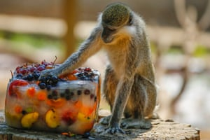 Antalya, Turkey A monkey tries to cool itself with iced fruits at Antalya zoo