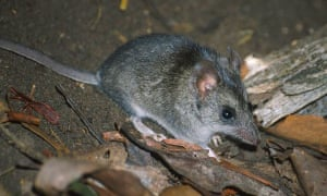 There are fears that the Kangaroo Island dunnart has been pushed to the brink of extinction by last summer's bushfires.