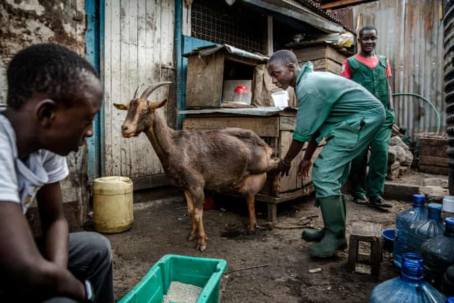 Uduny milks a goat