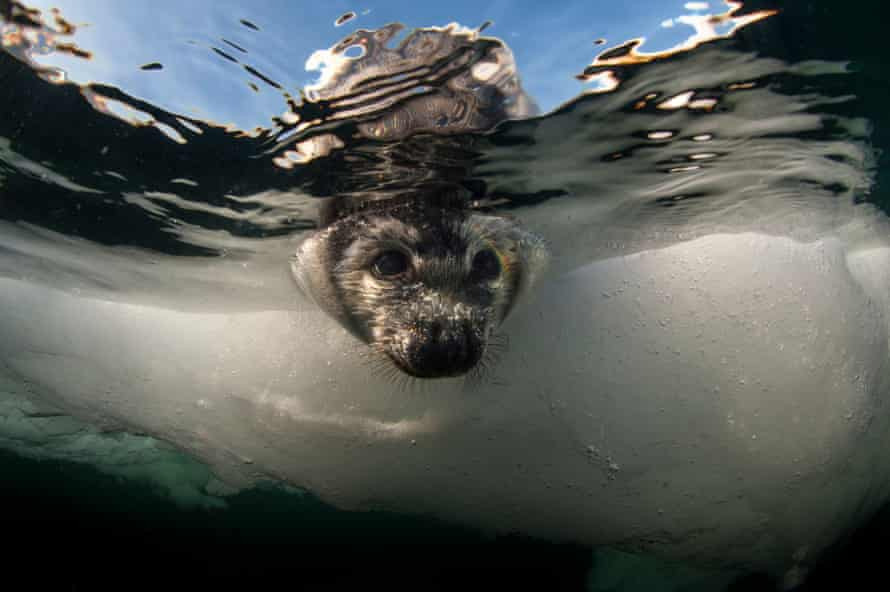 Seals might swim for days looking for an ice floe big enough to give birth on, says Mario Cyr.