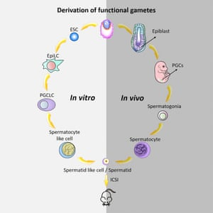 This graphical abstract shows how Zhou et al. generated haploid male gametes from mouse embryonic stem cells that can produce viable and fertile offspring, demonstrating functional reproduction of meiosis in vitro.