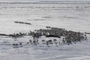 Reindeer flock is seen at nomad camp, 150 km from the town of Salekhard, Yamalo-Nenets Autonomous Okrug