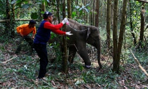 A four year-old elephant receives medical treatment from vets after being caught in a trap, Sungai Mandau, Siak, Riau province, Indonesia