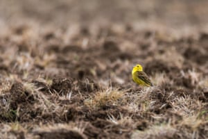 A male yellowhammer sings in a field in the UK