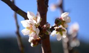 Almond treem in bloom at Serra de Estrela, Portugal.