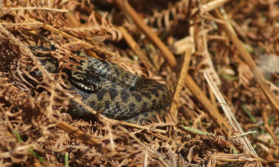 A female adder emerging from hibernation to sun on 22 February, near Banchory in Aberdeenshire.