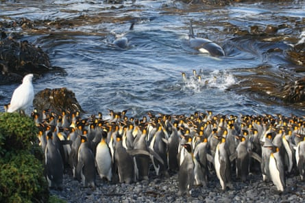 Killer whales, here entering a bay of King Penguins on sub-Antarctic Marion Island, live in a matriarchal social group.