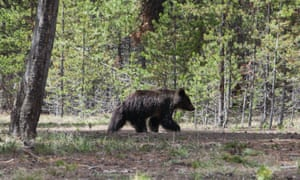 A young grizzly bear wanders the grounds near the Fishing Village visitor center in Wyoming's Yellowstone National Park.
