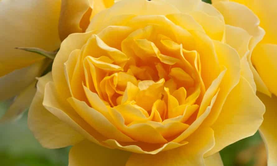 Close-up of the yellow rose  'Graham Thomas'