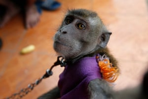 West Java, Indonesia A chained monkey