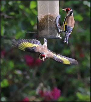 Goldfinches feeding and flying