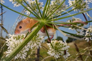 Documentary series winner 'Monitoring and tracking harvest mice', Nick Upton and Emily Howard-Williams, Northampton.