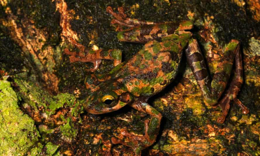 The camouflage of this super cryptic Osteocephalus buckleyi allows it to blend perfectly among the moss and lichen that cover many of the forest's trees.
