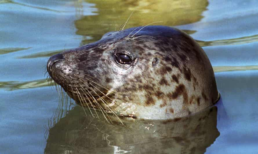 Grey seal's head showing above the water