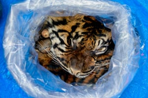 A local office of Indonesia's nature conservation agency (BKSDA) displays a plastic bag containing a tiger skin in Banda Aceh