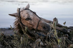 An injured horse covered with volcanic ash near the errupting Taal volcano