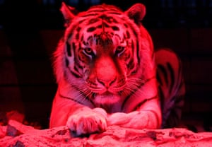 Krasnoyarsk, Russia A six-year-old Amur tiger lies in an open-air cage, lit to allow visitors to observe animals in night time conditions