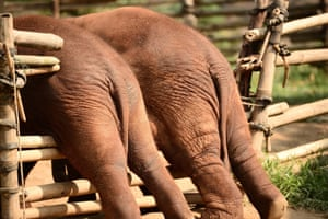 Elephants stuck in fence