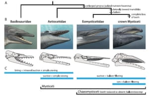 The evolution of baleen in whales.
