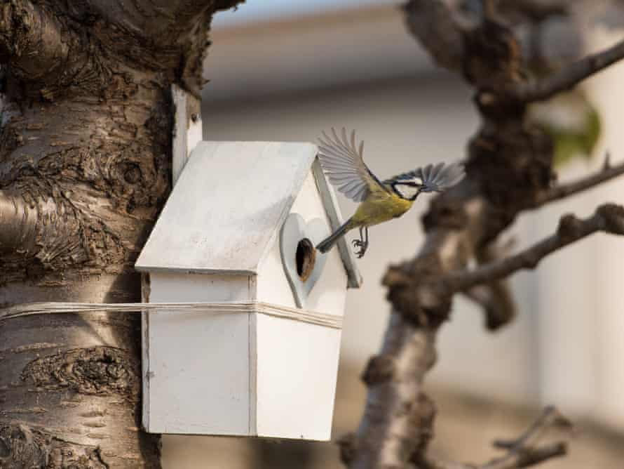 A blue tit takes flight from a bird box in Edinburgh
