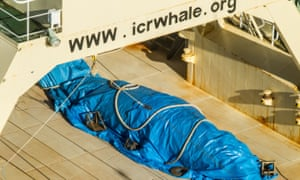 A dead minke whale onboard the Nisshin Maru, part of the Japanese whaling fleet, at sea in Antarctic waters.