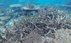 Dead coral on the reef. Most pollution is caused by fertilisers used in sugar cane production.