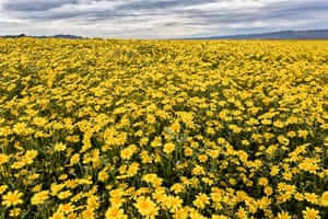 Super bloom at Carizzo Plain national monument, USA.