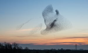 A giant flock of starlings, known as a murmuration near Gretna, Scotland.