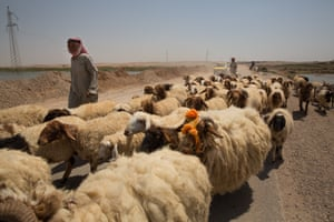 A Bedouin man herds his sheep on the main road to the city