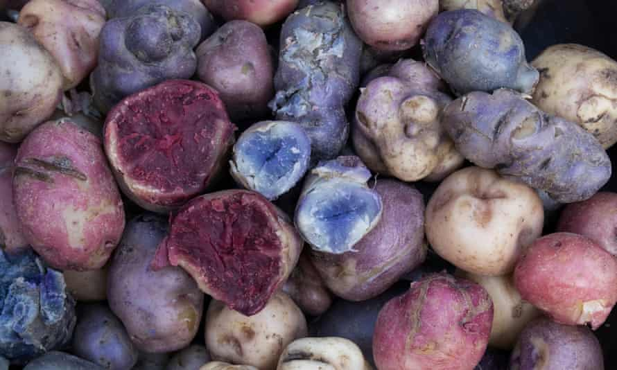A selection of biofortified potatoes, grown to be higher in zinc and iron.