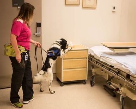 Angus, the C difficile sniffing dog.