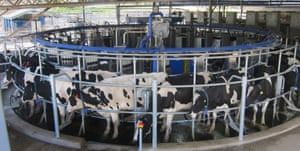 Automated milking at FutureDairy.