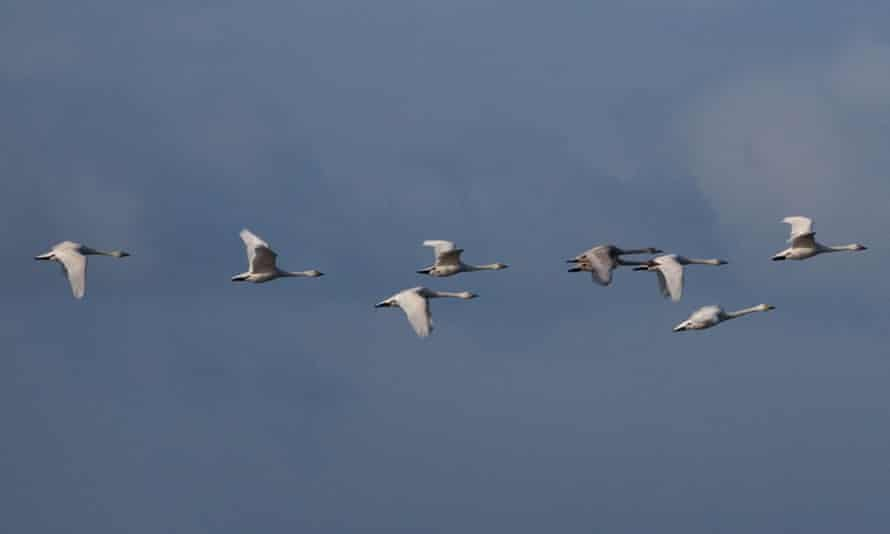 Whooper swans flying over the Cambridgeshire fens.