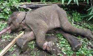Young Asian elephant caught in a snare in Mondulkiri Province, Cambodia. The snare was likely set to catch a wild pig, the elephant juvenile perished before vets could get to the scene.
