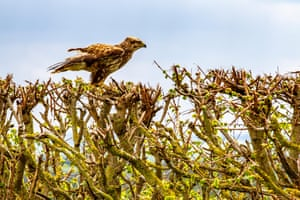 A common buzzard (Buteo buteo) perched on a hedgerow in Wilton, Northamptonshire, UK