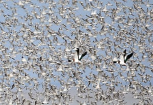 Ducks are outnumbered by thousands of knots and oystercatchers as they congregate and perform spectacular murmurations at Snettisham, Norfolk, UK