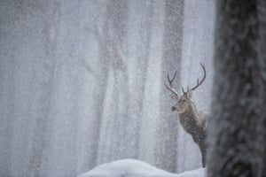 Red deer stag in the snow by Joshua Copping