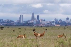 Hartebeests graze in Nairobi national park against a backdrop of the city, Kenya