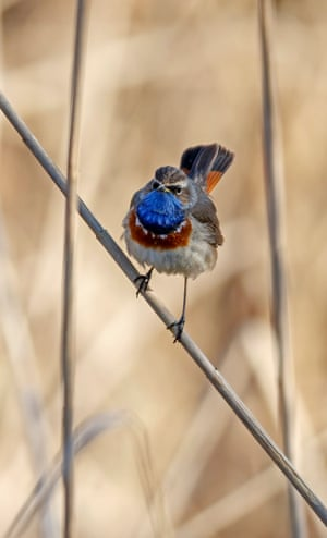 A bluethroat sits on a stalk in the Wagbachniederung nature reserve in Waghäusel, near Karlsruhe in Germany.