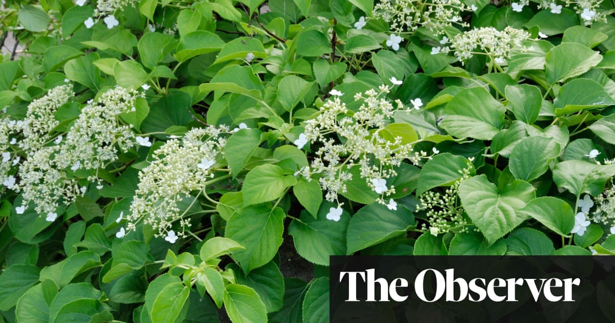 Gardens Climbers As Ground Cover Life And Style The Guardian