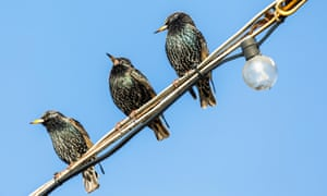 Starlings taking time out during the day on an electricity cable, Hampshire, UK.