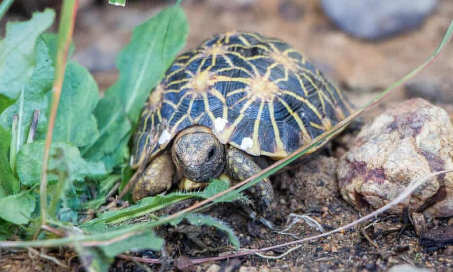 A baby geometric tortoise, which is a critically endangered species.