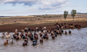 Cattle crossing a dam at Cheshire, Tambo, Queensland.