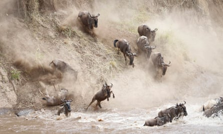 Wildebeest cross the Mara river during the great migration in 2014.